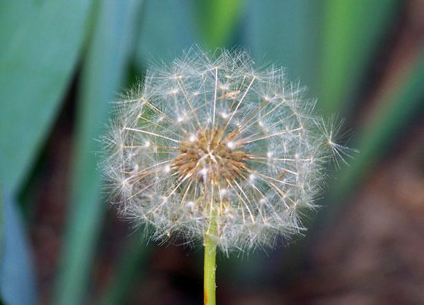 Păpădia, floarea copiilor