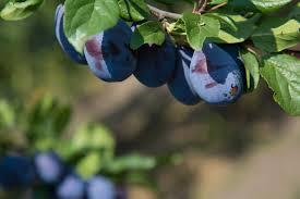 Prunele - deliciul toamnei